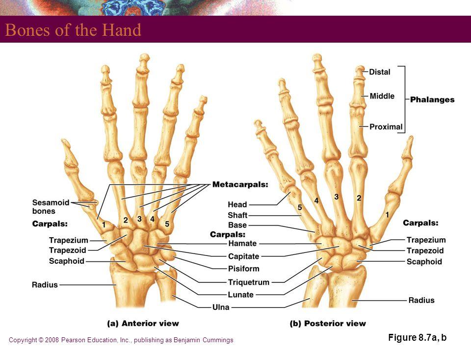 Copyright © 2008 Pearson Education, Inc., publishing as Benjamin Cummings Bones of the Hand Figure 8.7a, b