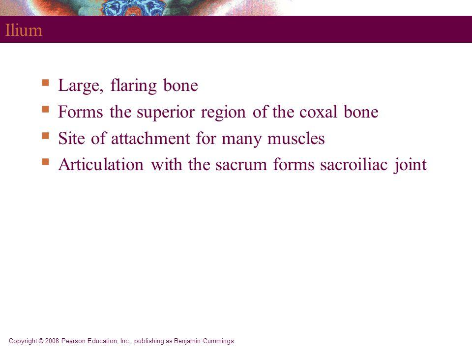 Copyright © 2008 Pearson Education, Inc., publishing as Benjamin Cummings Ilium  Large, flaring bone  Forms the superior region of the coxal bone 