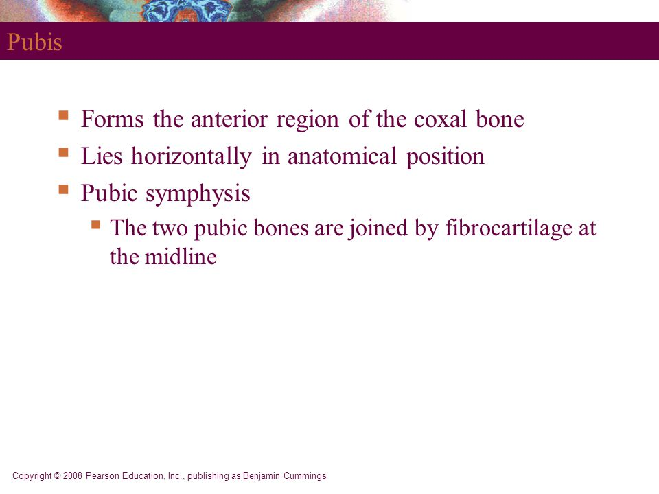 Copyright © 2008 Pearson Education, Inc., publishing as Benjamin Cummings Pubis  Forms the anterior region of the coxal bone  Lies horizontally in a