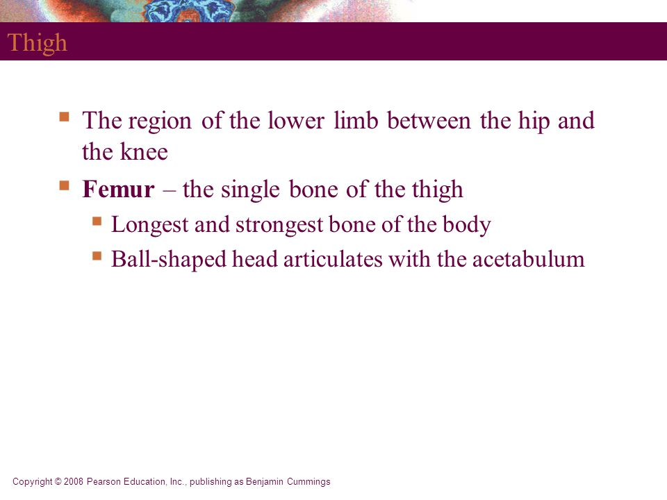 Copyright © 2008 Pearson Education, Inc., publishing as Benjamin Cummings Thigh  The region of the lower limb between the hip and the knee  Femur –