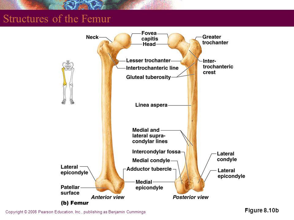 Copyright © 2008 Pearson Education, Inc., publishing as Benjamin Cummings Structures of the Femur Figure 8.10b