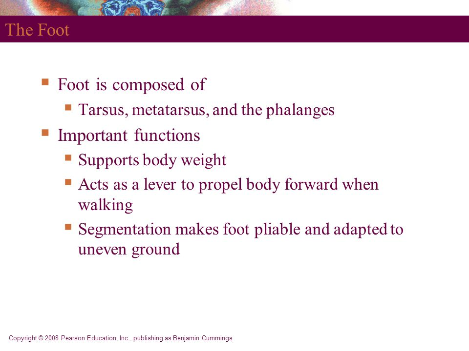 Copyright © 2008 Pearson Education, Inc., publishing as Benjamin Cummings The Foot  Foot is composed of  Tarsus, metatarsus, and the phalanges  Imp