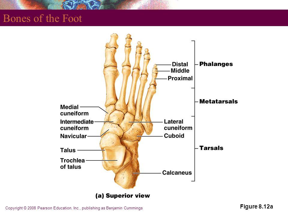Copyright © 2008 Pearson Education, Inc., publishing as Benjamin Cummings Bones of the Foot Figure 8.12a