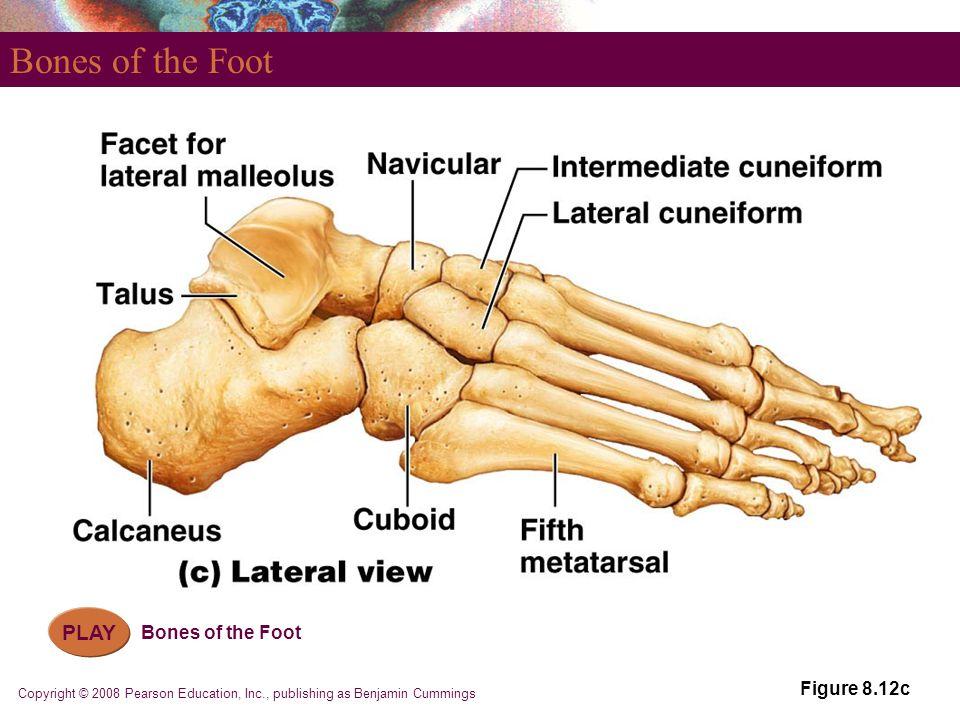 Copyright © 2008 Pearson Education, Inc., publishing as Benjamin Cummings Bones of the Foot Figure 8.12c PLAY Bones of the Foot