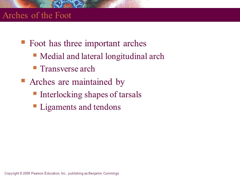 Copyright © 2008 Pearson Education, Inc., publishing as Benjamin Cummings Arches of the Foot  Foot has three important arches  Medial and lateral lo