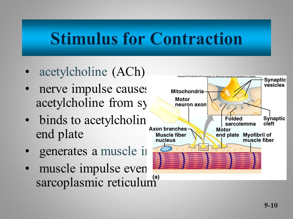 Stimulus for Contraction acetylcholine (ACh) nerve impulse causes release of acetylcholine from synaptic vesicles binds to acetylcholine receptors on motor end plate generates a muscle impulse muscle impulse eventually reaches sarcoplasmic reticulum 9-10