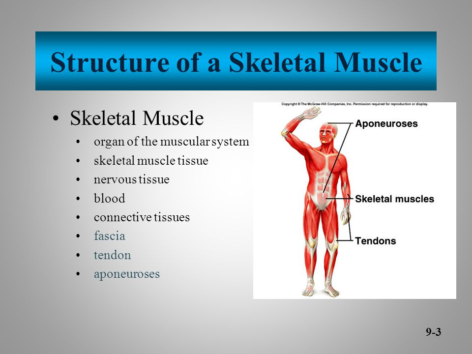 Structure of a Skeletal Muscle Skeletal Muscle organ of the muscular system skeletal muscle tissue nervous tissue blood connective tissues fascia tendon aponeuroses 9-3