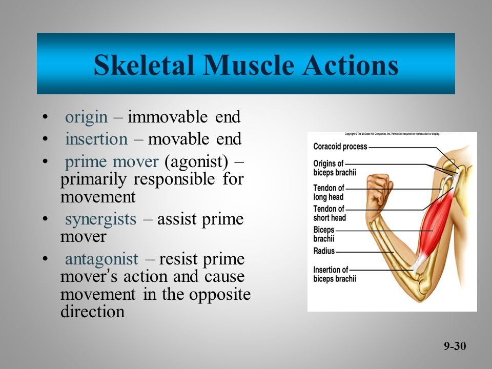 Skeletal Muscle Actions origin – immovable end insertion – movable end prime mover (agonist) – primarily responsible for movement synergists – assist