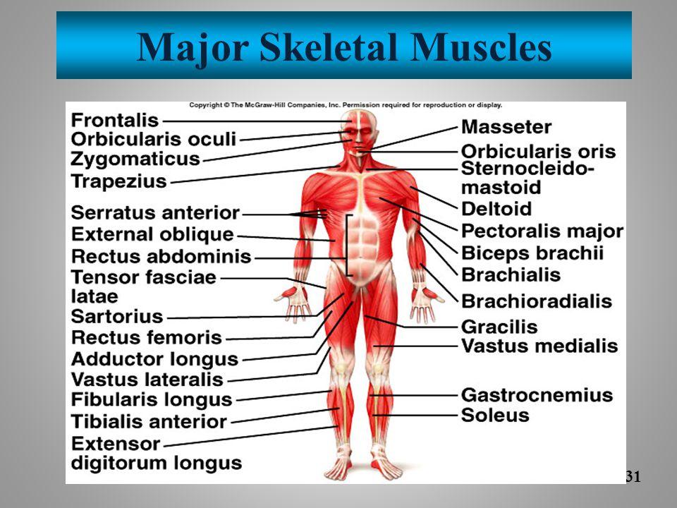 Major Skeletal Muscles 9-31