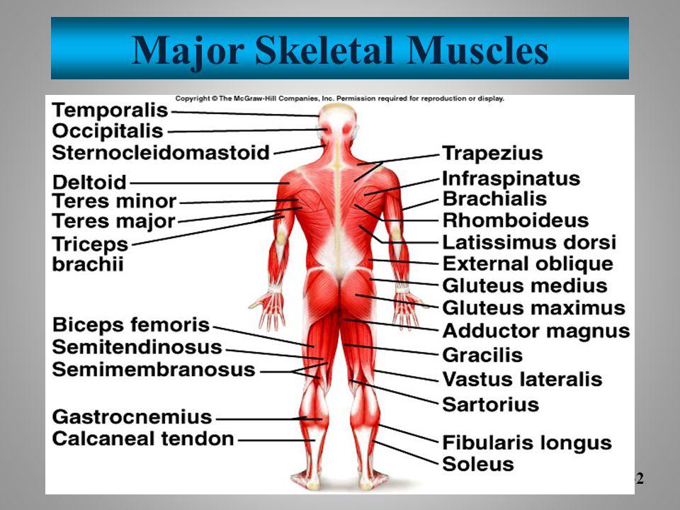 Major Skeletal Muscles 9-32