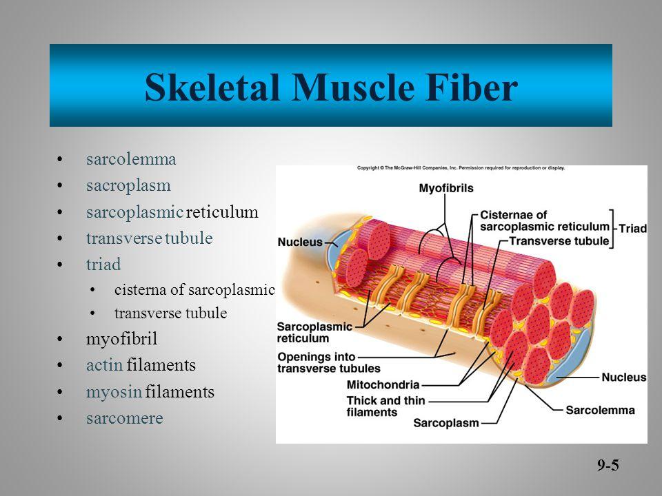 Skeletal Muscle Fiber sarcolemma sacroplasm sarcoplasmic reticulum transverse tubule triad cisterna of sarcoplasmic reticulum transverse tubule myofibril actin filaments myosin filaments sarcomere 9-5