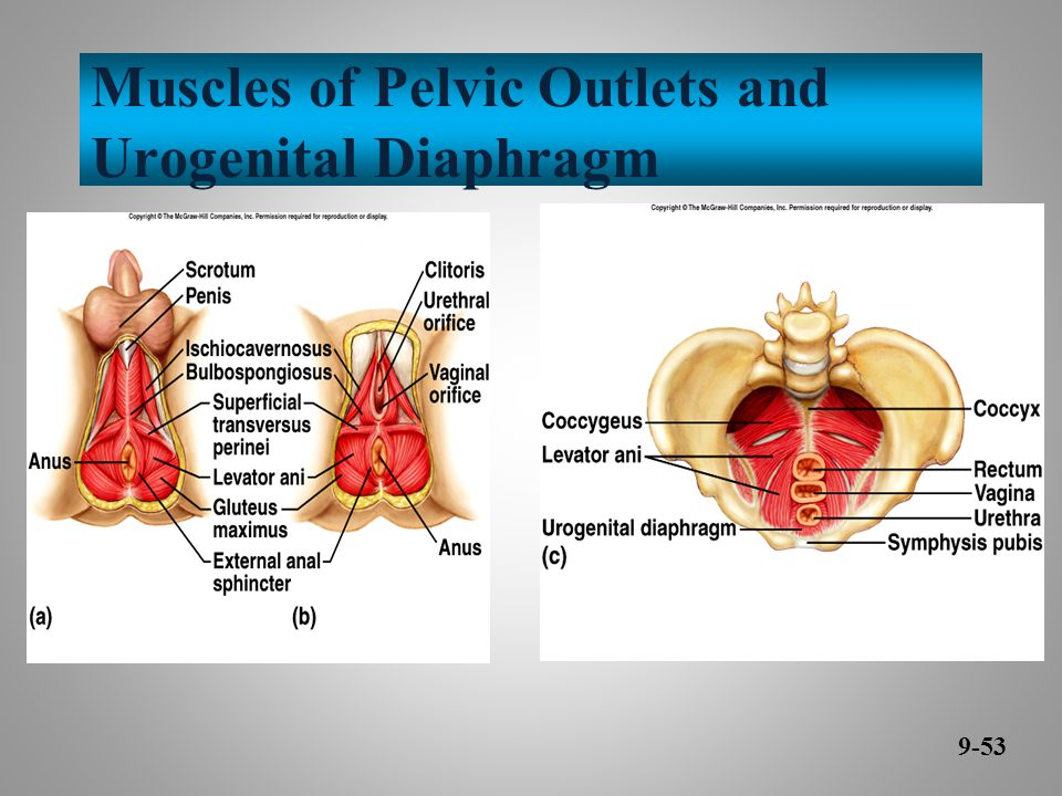 Muscles of Pelvic Outlets and Urogenital Diaphragm 9-53