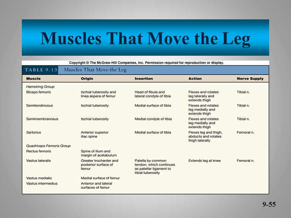 Muscles That Move the Leg 9-55