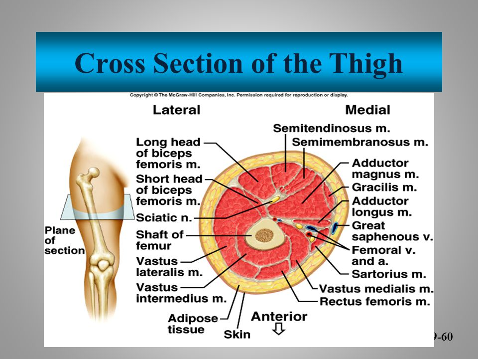 Cross Section of the Thigh 9-60