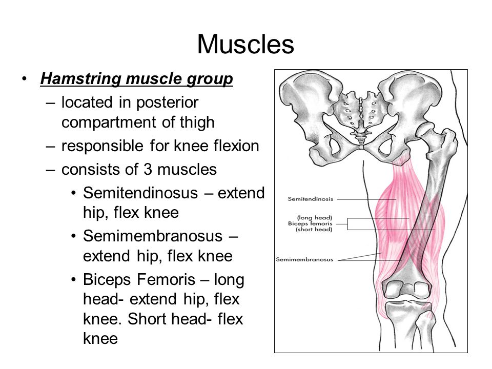 Muscles Hamstring muscle group –located in posterior compartment of thigh –responsible for knee flexion –consists of 3 muscles Semitendinosus – extend