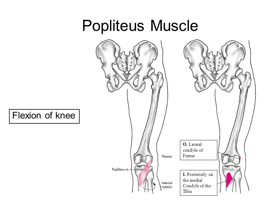 Popliteus Muscle Flexion of knee O. Lateral condyle of Femur I. Posteriorly on the medial Condyle of the Tibia