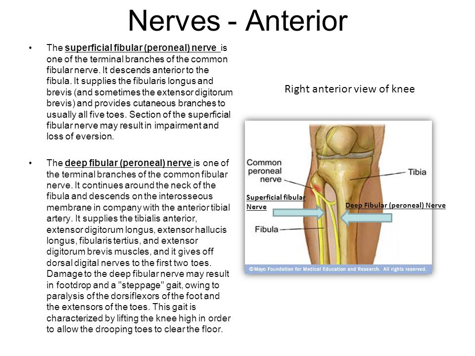 Nerves - Anterior The superficial fibular (peroneal) nerve is one of the terminal branches of the common fibular nerve. It descends anterior to the fi
