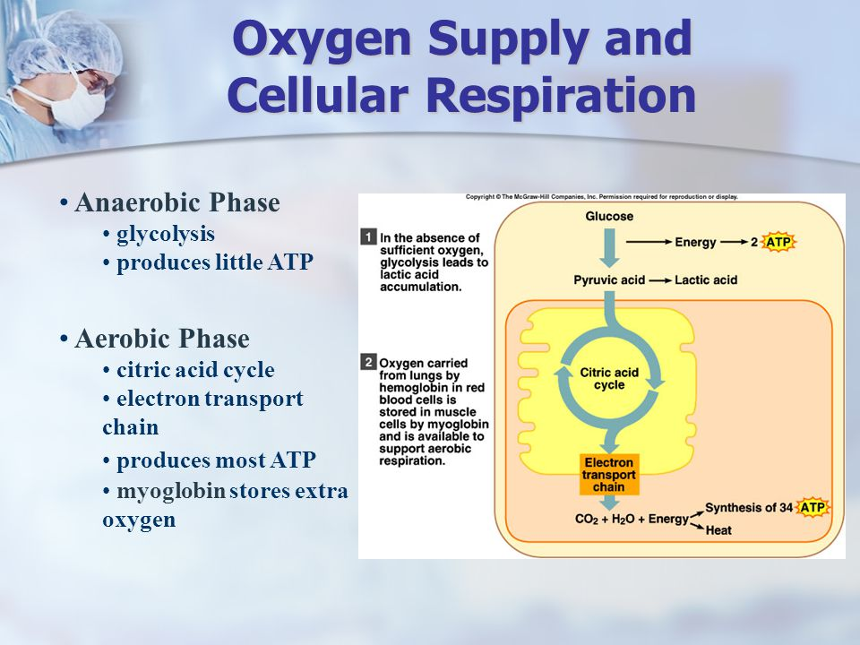 Anaerobic Phase glycolysis produces little ATP Aerobic Phase citric acid cycle electron transport chain produces most ATP myoglobin stores extra oxyge