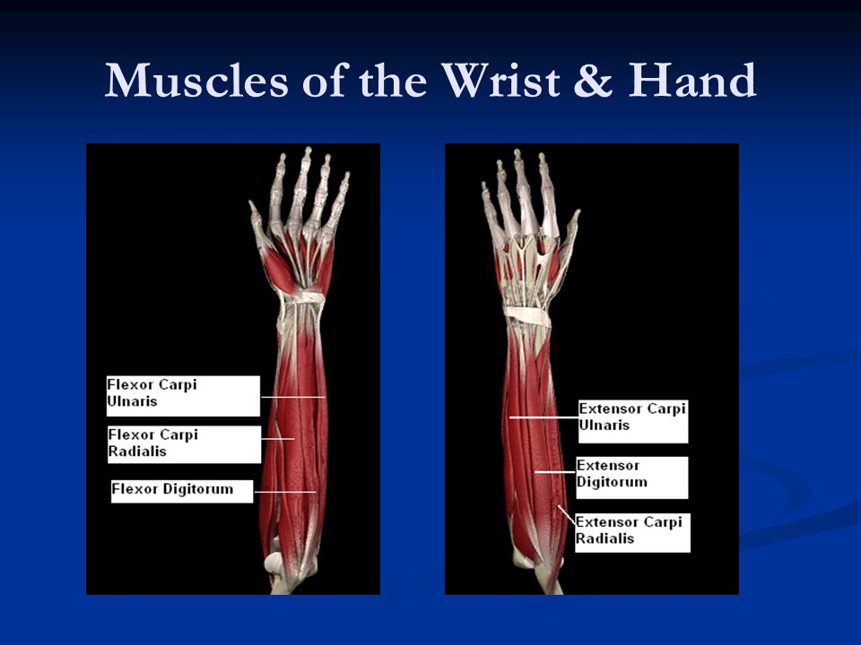 Muscles of the Wrist & Hand
