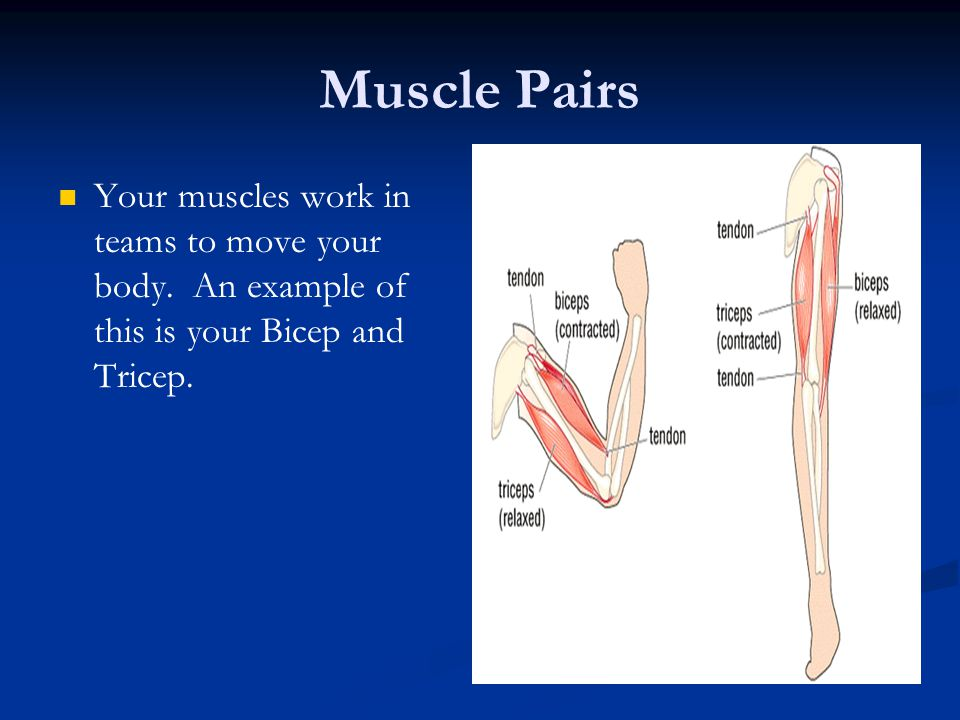 Muscle Pairs Your muscles work in teams to move your body. An example of this is your Bicep and Tricep.