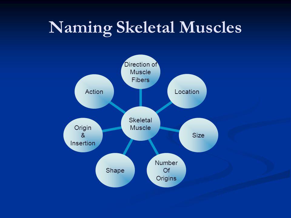 Naming Skeletal Muscles Skeletal Muscle Direction of Muscle Fibers LocationSize Number Of Origins Shape Origin & Insertion Action
