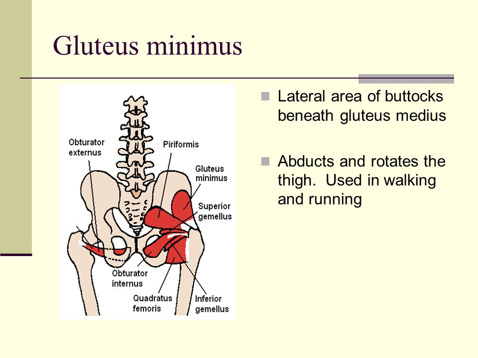 Gluteus minimus Lateral area of buttocks beneath gluteus medius Abducts and rotates the thigh. Used in walking and running