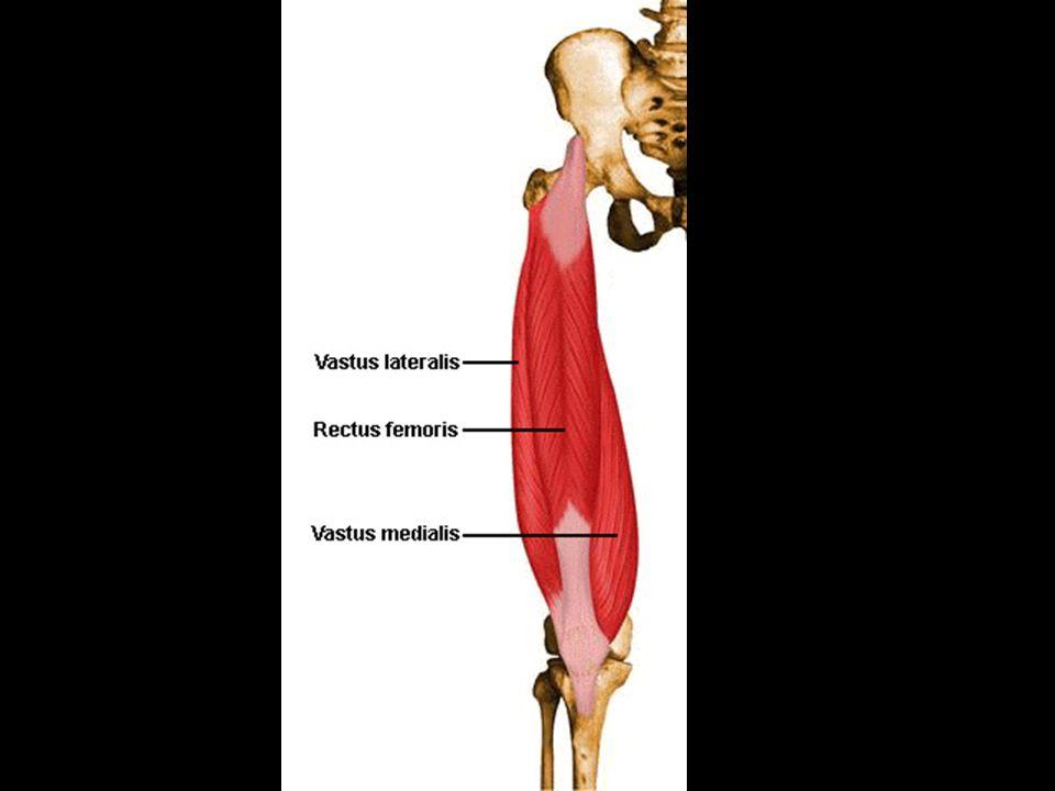 b.Vastus lateralis 1. Originates from greater trochanter and linea aspera 2.