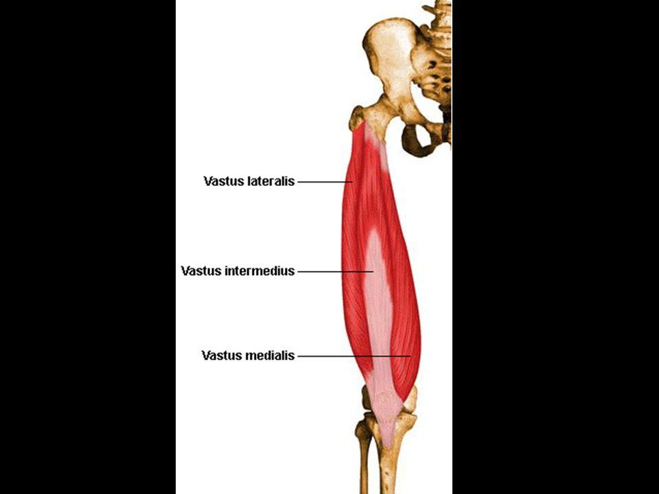 2.Sartorius- flexes thigh and rotates laterally a.