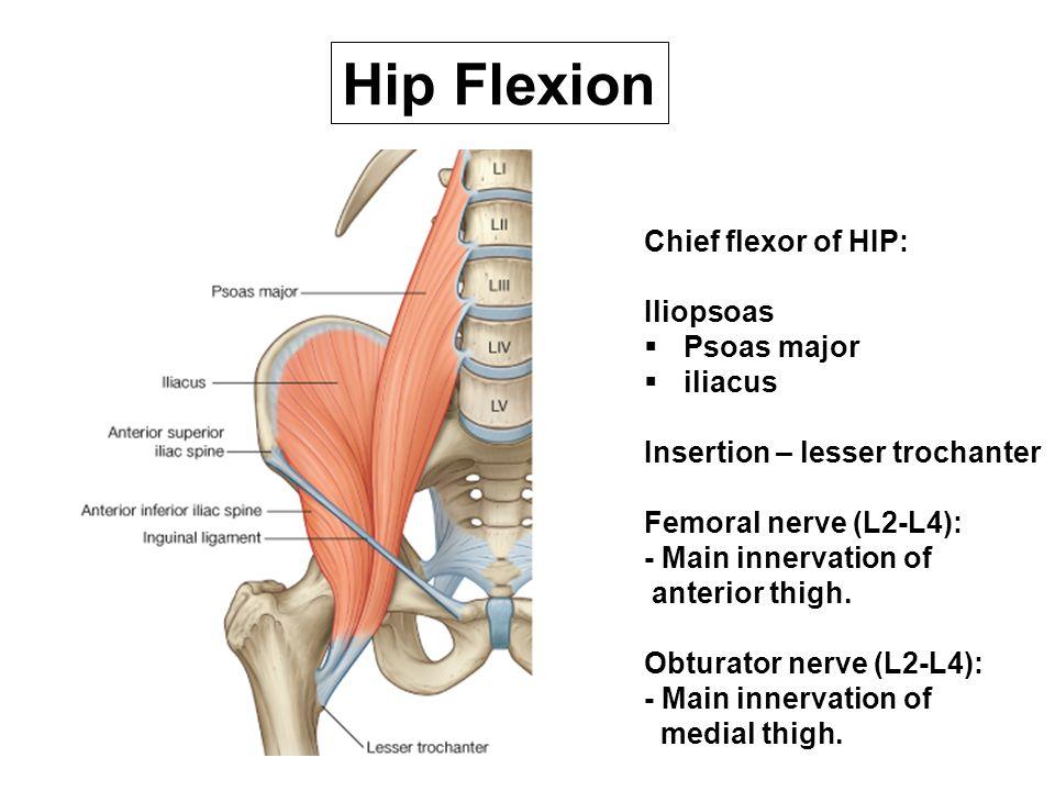 Chief flexor of HIP: Iliopsoas  Psoas major  iliacus Insertion – lesser trochanter Femoral nerve (L2-L4): - Main innervation of anterior thigh. Obtu