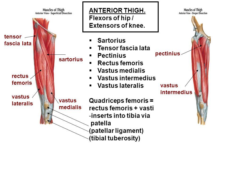 ANTERIOR THIGH. Flexors of hip / Extensors of knee.  Sartorius  Tensor fascia lata  Pectinius  Rectus femoris  Vastus medialis  Vastus intermedi