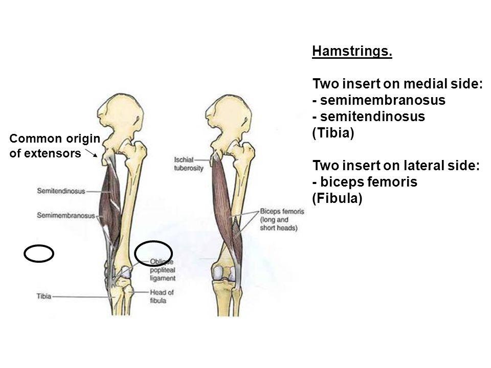 Hamstrings. Two insert on medial side: - semimembranosus - semitendinosus (Tibia) Two insert on lateral side: - biceps femoris (Fibula) Common origin