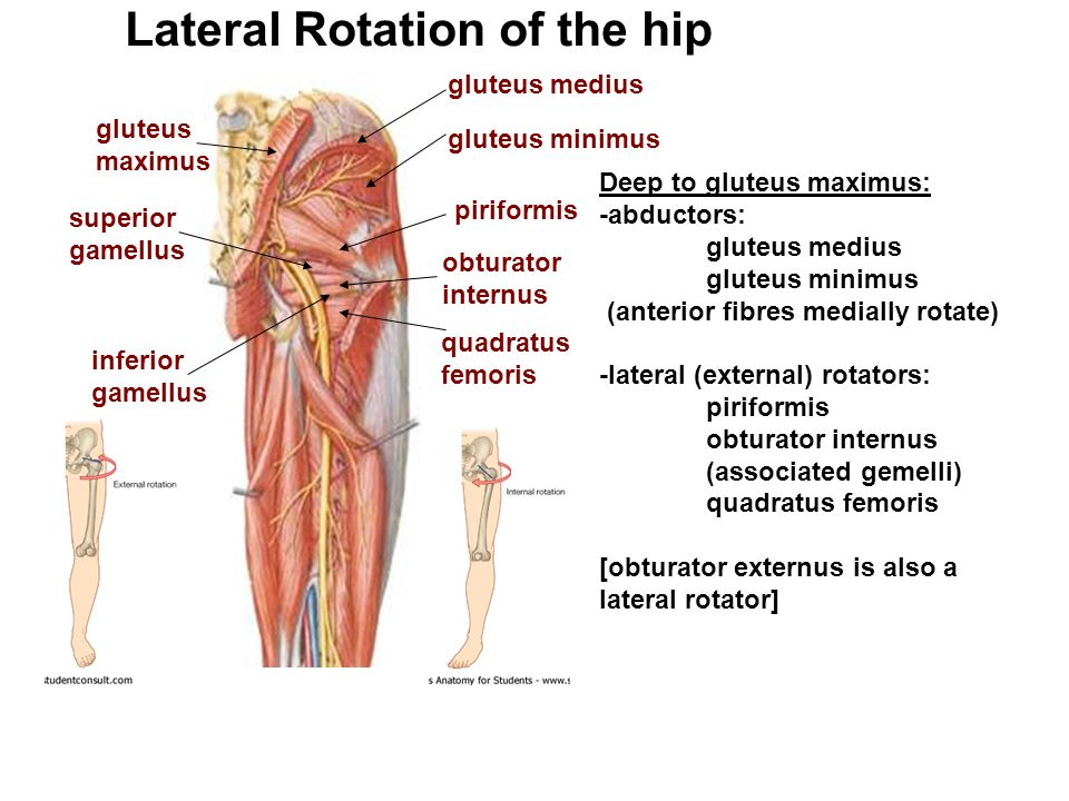 Deep to gluteus maximus: -abductors: gluteus medius gluteus minimus (anterior fibres medially rotate) -lateral (external) rotators: piriformis obturat