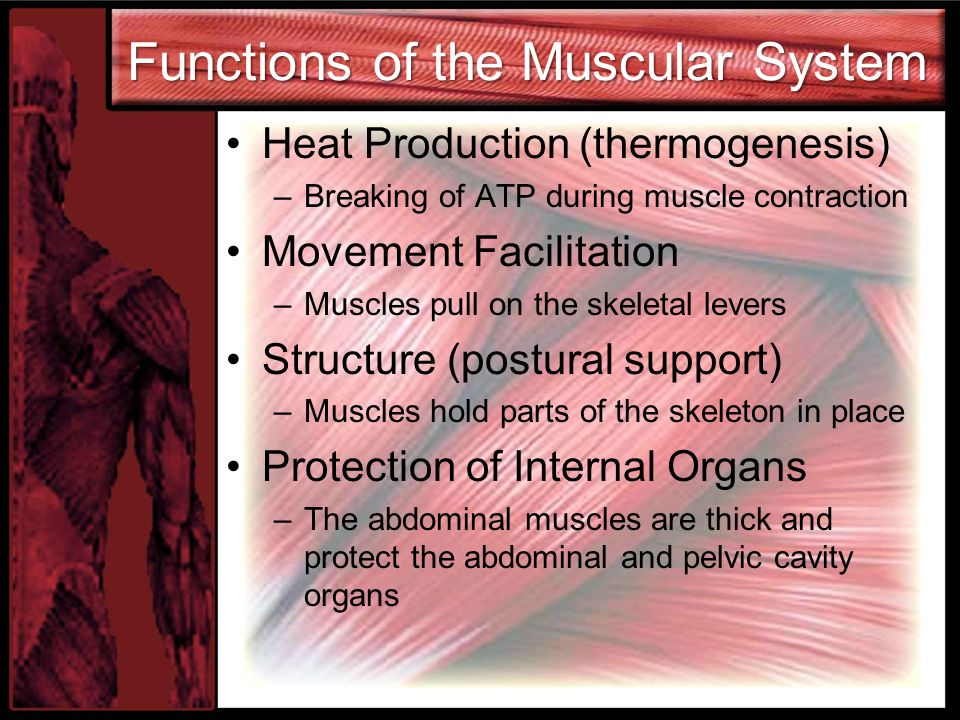 Functions of the Muscular System Heat Production (thermogenesis) –Breaking of ATP during muscle contraction Movement Facilitation –Muscles pull on the