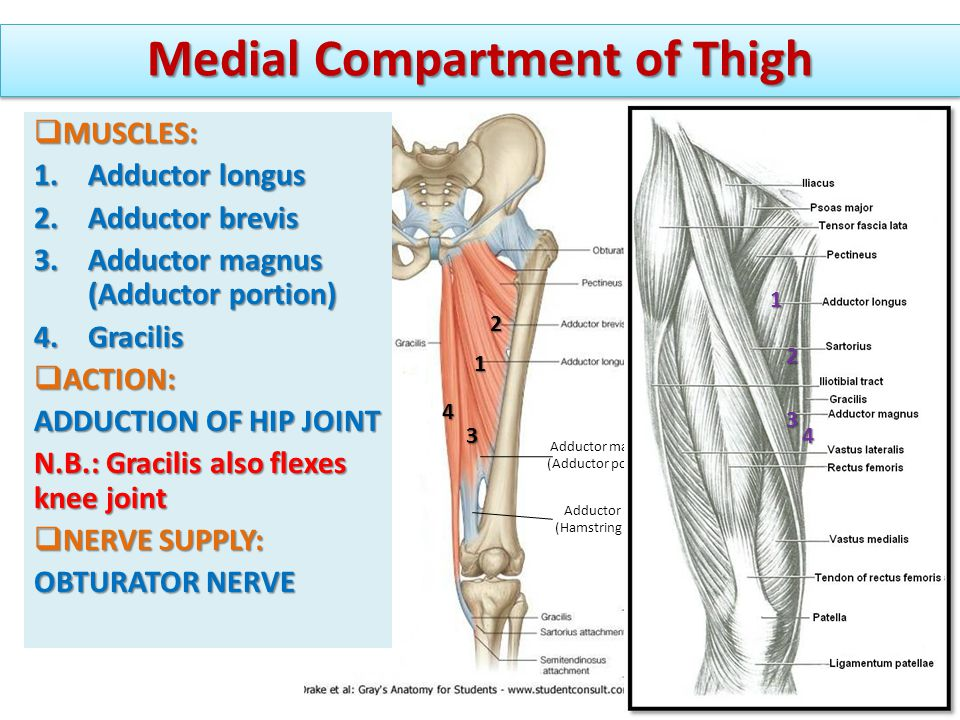  MUSCLES: 1.Adductor longus 2.Adductor brevis 3.Adductor magnus (Adductor portion) 4.Gracilis  ACTION: ADDUCTION OF HIP JOINT N.B.: Gracilis also fl