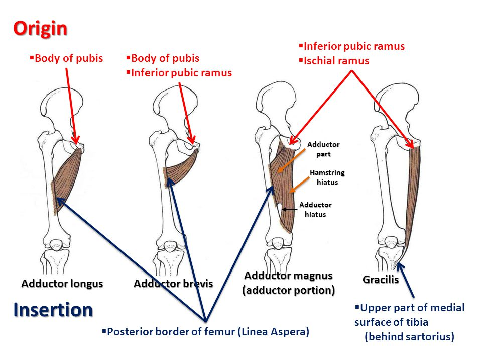 Insertion  Posterior border of femur (Linea Aspera)  Upper part of medial surface of tibia (behind sartorius) Adductor longus Adductor brevis Adduct