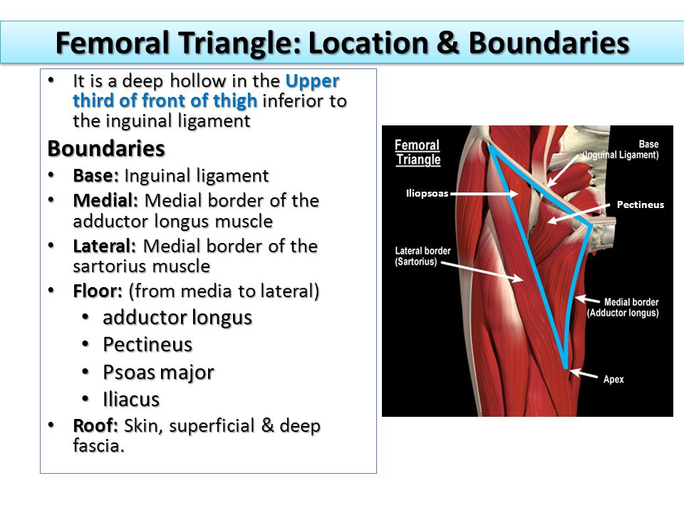 Femoral Triangle: Location & Boundaries It is a deep hollow in the Upper third of front of thigh inferior to the inguinal ligament It is a deep hollow