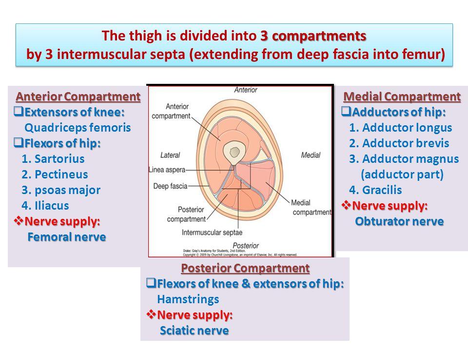 Anterior Compartment of Thigh Vastus Intermedius (deep to rectus femoris) 1 2 3 1 4 2 3 4 Contains the:  Flexor of the hip: 1.Sartorius 2.Pectineus 3.psoas major 4.Iliacus  Extensors of knee (Quadriceps femoris): 1.Rectus femoris 2.Vastus lateralis 3.Vastus medialis 4.Vastus intermedius (deep to rectus femoris)  Nerve supply:  Nerve supply: Femoral nerve