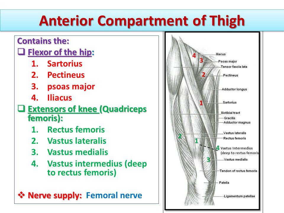 Anterior Compartment of Thigh Vastus Intermedius (deep to rectus femoris) 1 2 3 1 4 2 3 4 Contains the:  Flexor of the hip: 1.Sartorius 2.Pectineus 3