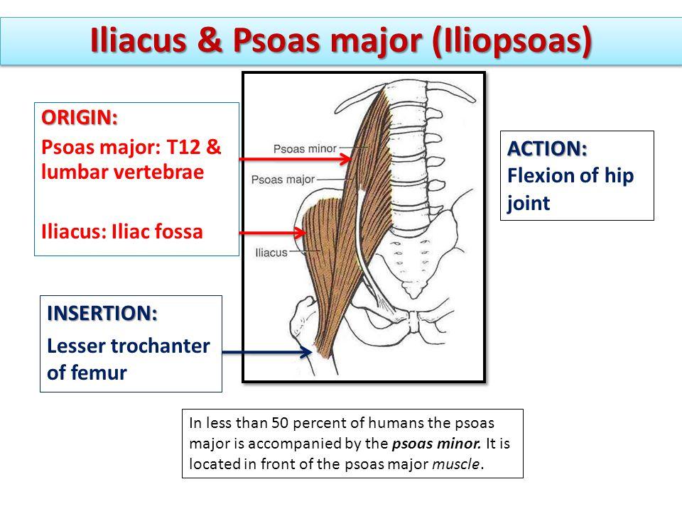 Iliacus & Psoas major (Iliopsoas) INSERTION: Lesser trochanter of femur ACTION: Flexion of hip joint ORIGIN: Psoas major: T12 & lumbar vertebrae Iliac