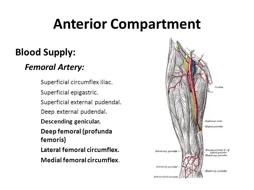Anterior Compartment Blood Supply: Femoral Artery: Superficial circumflex iliac. Superficial epigastric. Superficial external pudendal. Deep external