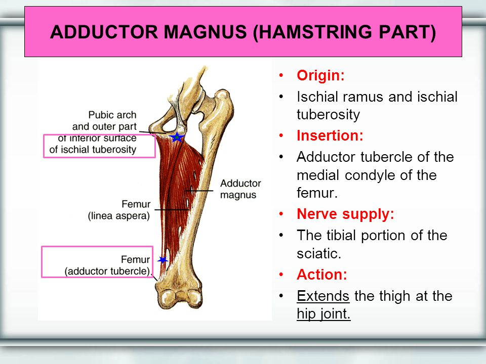 ADDUCTOR MAGNUS (HAMSTRING PART) Origin: Ischial ramus and ischial tuberosity Insertion: Adductor tubercle of the medial condyle of the femur. Nerve s