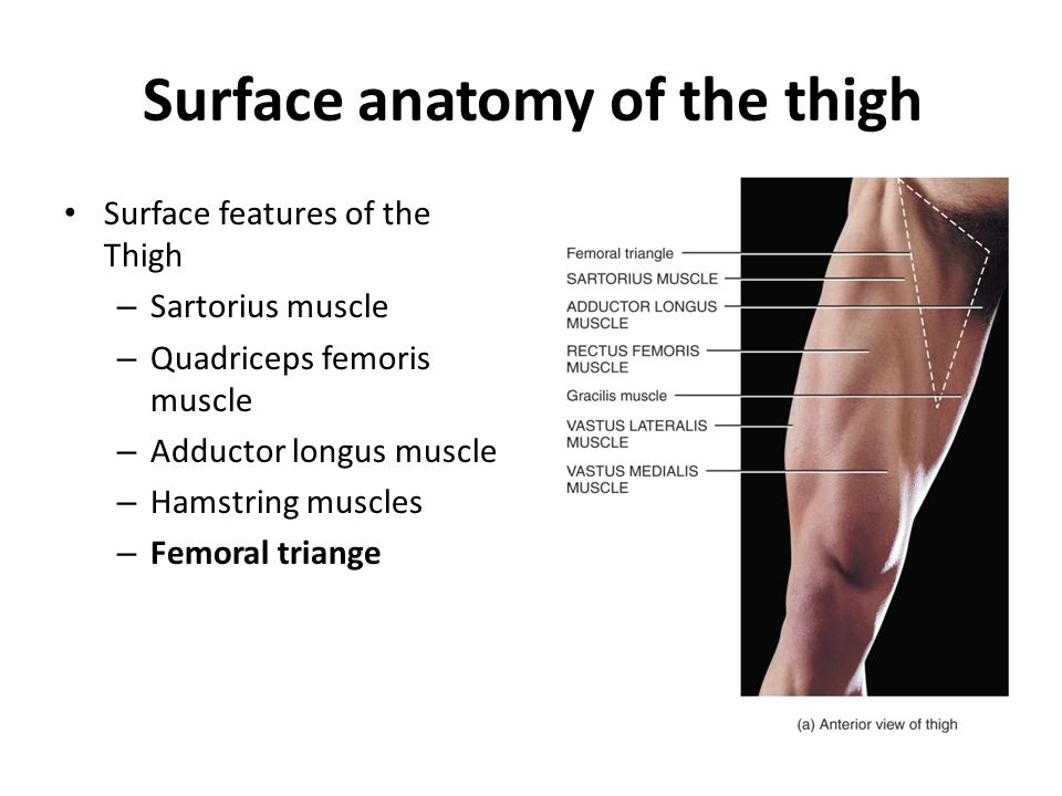 Anatomy of the thigh Thigh is divided to 3 groups of muscles called compartments.