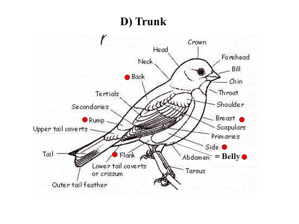 D) Trunk = Belly