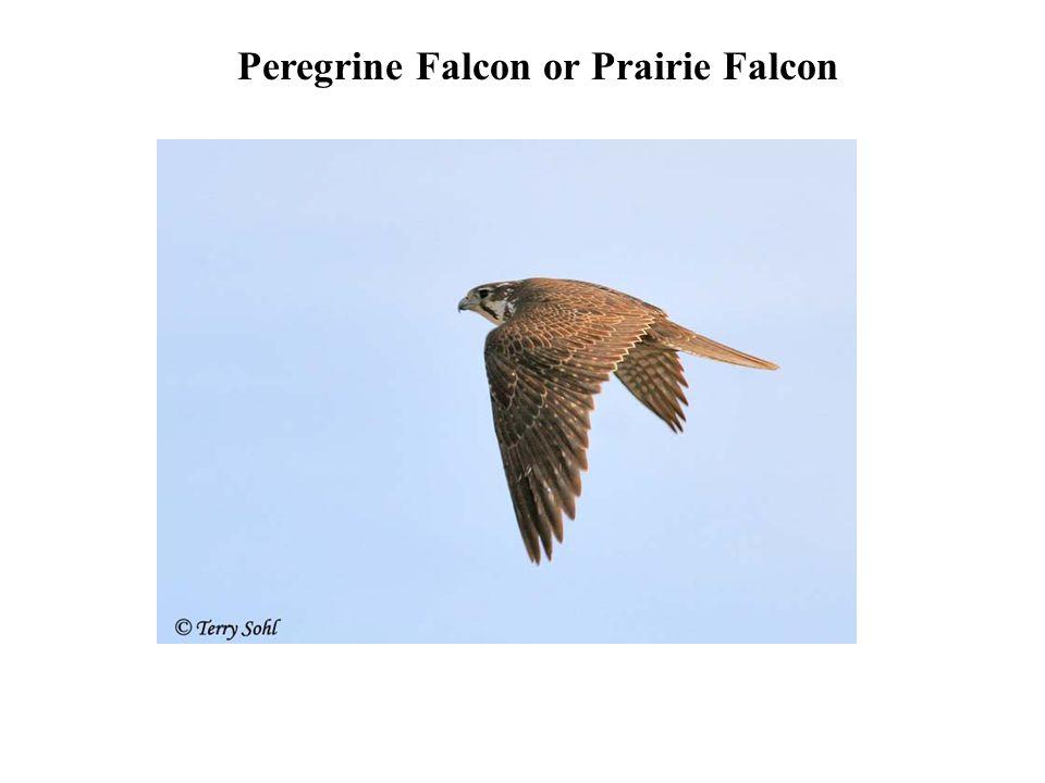 Peregrine Falcon or Prairie Falcon