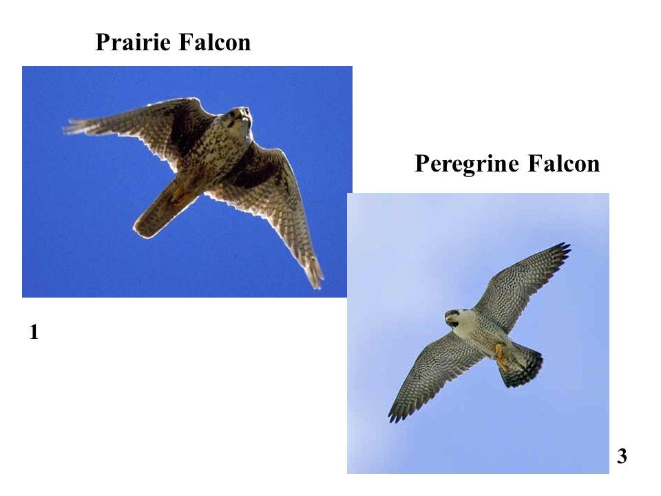 1 3 Peregrine Falcon Prairie Falcon
