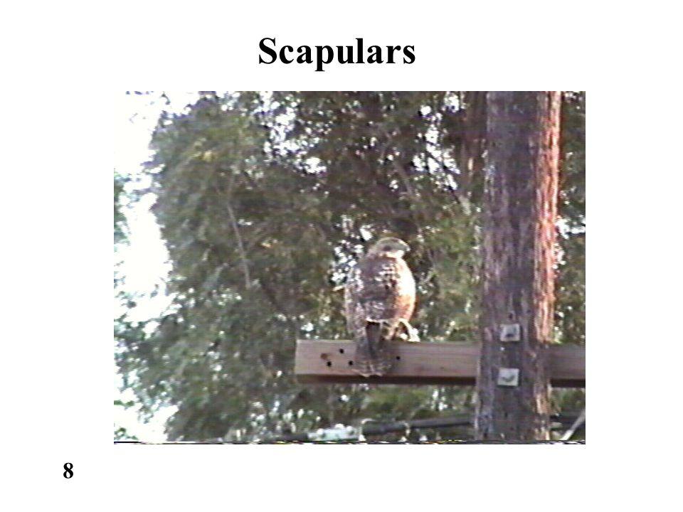 Scapulars 8