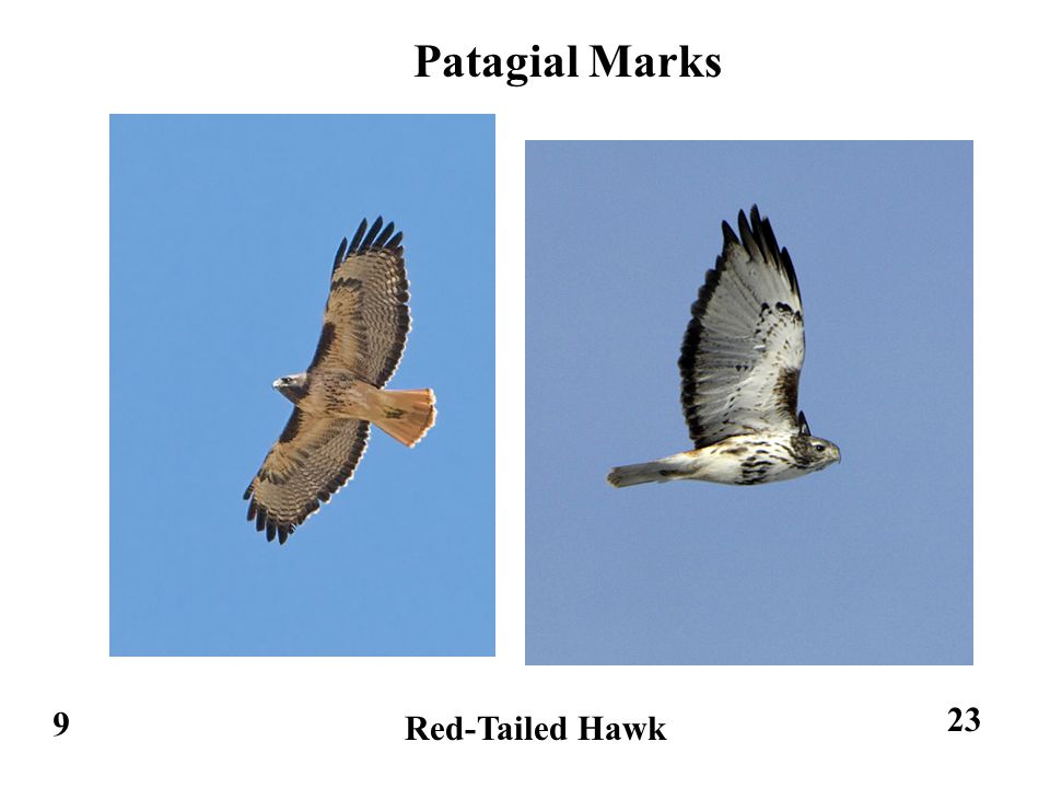 9 Red-Tailed Hawk Patagial Marks 23