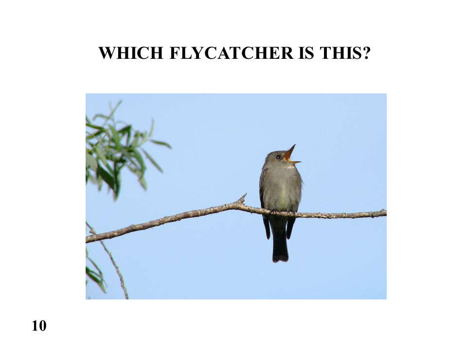WHICH FLYCATCHER IS THIS 10