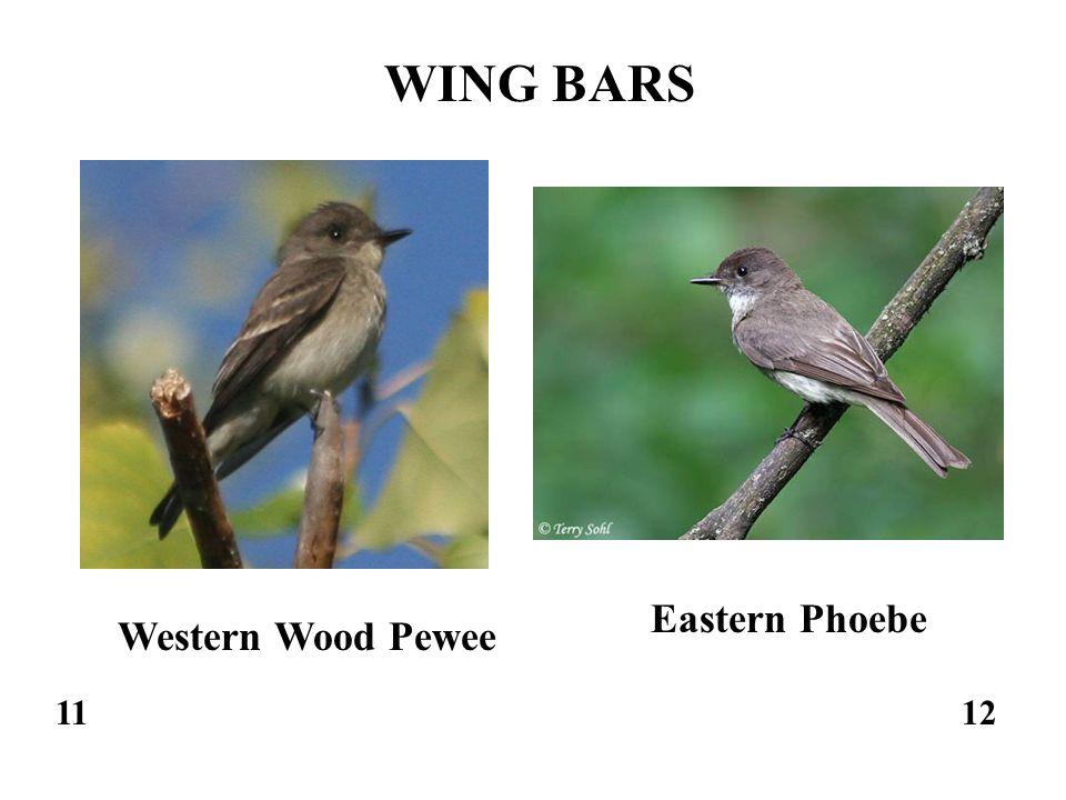 1112 Western Wood Pewee Eastern Phoebe WING BARS