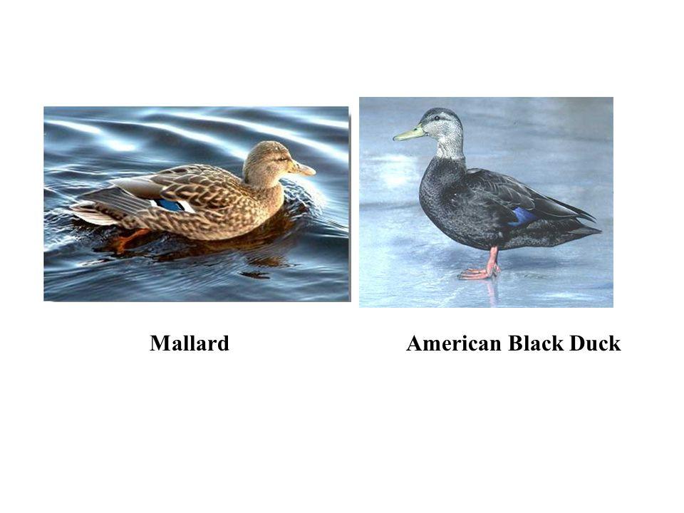 MallardAmerican Black Duck